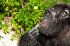 Chimpanzé pensant Images stock