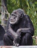 Chimpanzé posé Images libres de droits