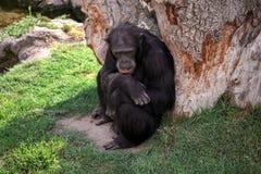 Chimpanzé preto grande foto de stock royalty free