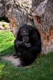 Chimpanzé preto grande fotografia de stock