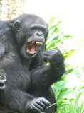 Chimpanzé que diz Ahhhh para o doutor Imagens de Stock