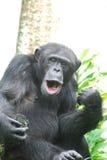 Chimpanzé que joga um Air Guitar e que canta avante Imagens de Stock