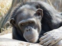 Chimpanzé que olha Imagens de Stock Royalty Free