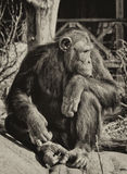 Chimpanzé que pensa sobre coisas Fotografia de Stock Royalty Free
