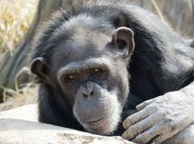 Chimpanzé regardant fixement Images libres de droits
