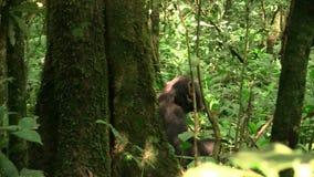 Chimpanzé se reposant, par derrière se reposer dans une forêt banque de vidéos