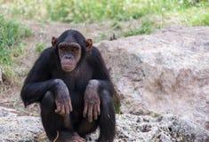 Chimpanzé se reposant sur des pierres Photos libres de droits