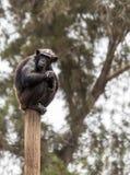 Chimpanzé se reposant sur un poteau Photographie stock libre de droits