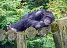 Chimpanzé somnolent sur des rondins Images stock