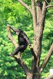 Chimpanzé sur l'arbre images stock