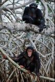 Chimpanzé sur l'arbre de palétuvier de fonds. Images stock