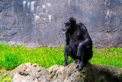 Chimpanzé sur une roche images libres de droits