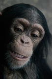 Chimpanzé (Troglodyte da bandeja) Foto de Stock Royalty Free