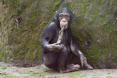 Chimpanzé usando a ferramenta fotografia de stock royalty free