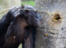 Chimpanzé usando ferramentas foto de stock