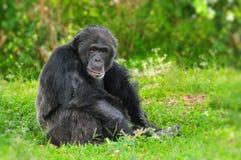 Chimpanzé velho Imagem de Stock Royalty Free