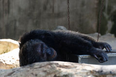 Chimpanzé velho Imagem de Stock