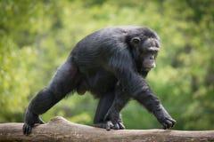 Chimpanzé XIV Image stock