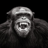 Chimpanzé XVII Images stock