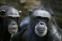 Chimpanzés Fotografia de Stock Royalty Free