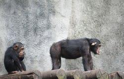 Chimpanzés photos libres de droits