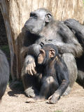 Chimpanzés. Photo libre de droits