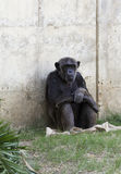 Chimpanzés Images stock