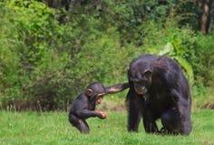 Chimpanzés Photographie stock libre de droits