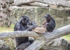 chimpanzés Photographie stock