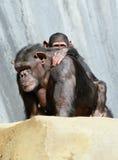 chimpanzés Image stock
