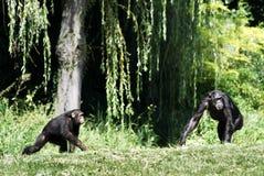 Chimpanzés dans l'herbe Photographie stock