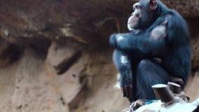 Chimpanzés dans le zoo clips vidéos