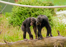 chimpanzés deux photo libre de droits