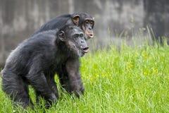 Chimpanzés hurlant image libre de droits