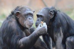 Chimpanzés mangeant peanuts2 Images libres de droits