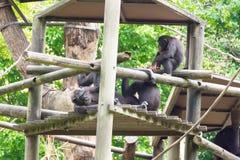 Chimpanzés se reposant sur une cabane dans un arbre Image stock