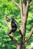 Chimpanzé na árvore Imagens de Stock