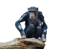 Chimpanze Royaltyfria Bilder