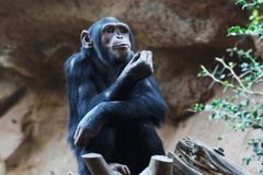 Chimpanze Royaltyfri Foto