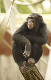 Chimpanze. Primate sitting and resting on the top of a log in a Zoo Stock Photos
