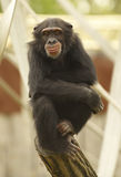 Chimpanze. Primate sitting and resting on the top of a log in a Zoo Royalty Free Stock Image