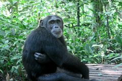 Chimpanze Royalty Free Stock Image