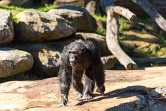 Chimpanze marchant sur le fond de nature Photos libres de droits