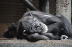 Chimpanze somnolent photos stock