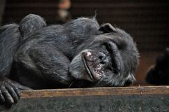 Chimpanze somnolent images libres de droits