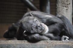 Chimpanze sonnolento Fotografie Stock