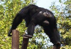 ChimpanzeeÂs Rückseite Stockfoto