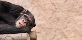 Chimpanzee 01 Stock Photography