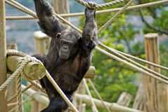 Chimpanzee. Taken in scotland uk Stock Photography
