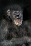 Chimpanzee. Portrait of a sad old male chimpanzee stock photo
